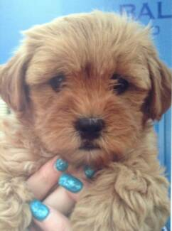 moodle (toy poodle & maltese) Baldivis Rockingham Area Preview