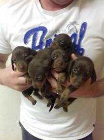 Miniature dashhound pups