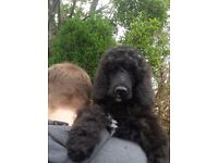 Black Standard Poodle Male Puppy