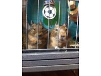 2 Degus for sale plus cage and accessories
