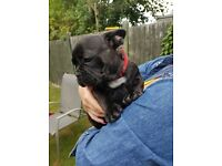 Beautyfull CHOCOLATE BRINDLE french bulldogs female puppies- 4 months old