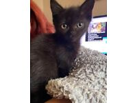 stunning maine coon x exotic kittens ready now