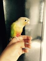 Wow***couple conure + nid ***wow
