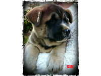 4 ABSOLUTLEY GORGEOUS GENUINE LARGE AMERICAN AKITA PUPPIES READY FOR NEW HOMES