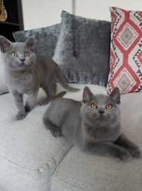 Gorgeous British Short Hair Kittens Ready Now