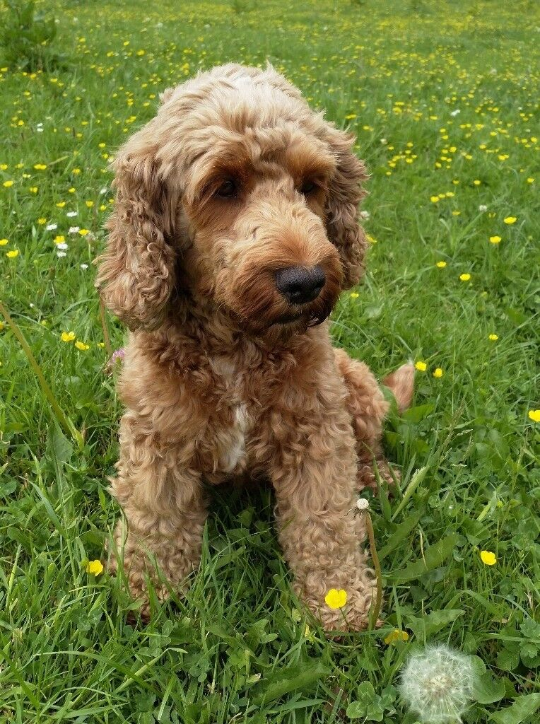 Summary -> Cockapoo Puppies For Sale In New England