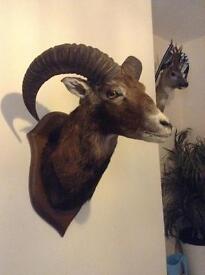 Taxidermy Ram head mount (XL)