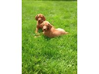 KC Registered hungarian vizsla pups for sale