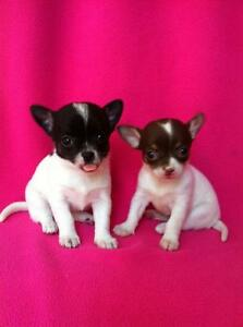 ***Two Adorable Chihuahua Puppies***