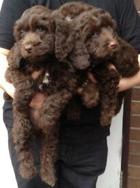 Stunning chocolate coloured sproodel puppies
