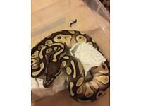 Royal python for sale