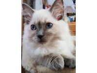 4 lovely Full Pedigree Ragdoll kittens available for sale in Basildon