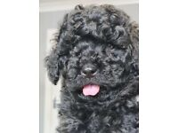 F1b toy cavapoos for sale