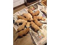 golden retriever/labrador puppies for sale