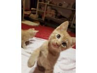 Beautiful male kittens 7 week's old