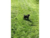 Pedigree pug puppy boy.£500 if gone today.
