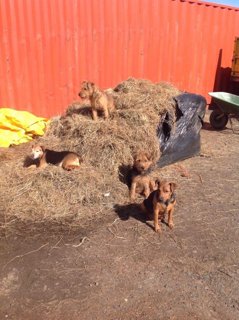 Golden Retriever 2 Months Weight Patterdale terrier x L...