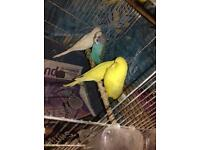 BUDGIES IN NEED OF A NEW HOME