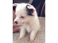 Jack Russell puppies cross Biewer terrier very small