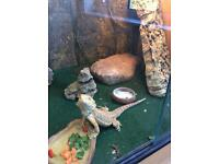 Vivarium and juvenile bearded dragon - currently in Andover