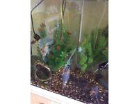 Two angel fish, three dwarf gourami , a clown loach, one sailfin Pleco and a serpae tetra
