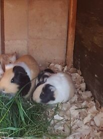 Beautiful Baby Guineapigs For Sale