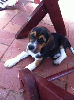 Beagle and Cocker Spaniel need a New Home Clearview Port Adelaide Area Preview