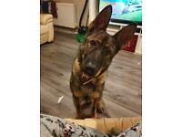 Pure breed german shepherd puppies READY NOW