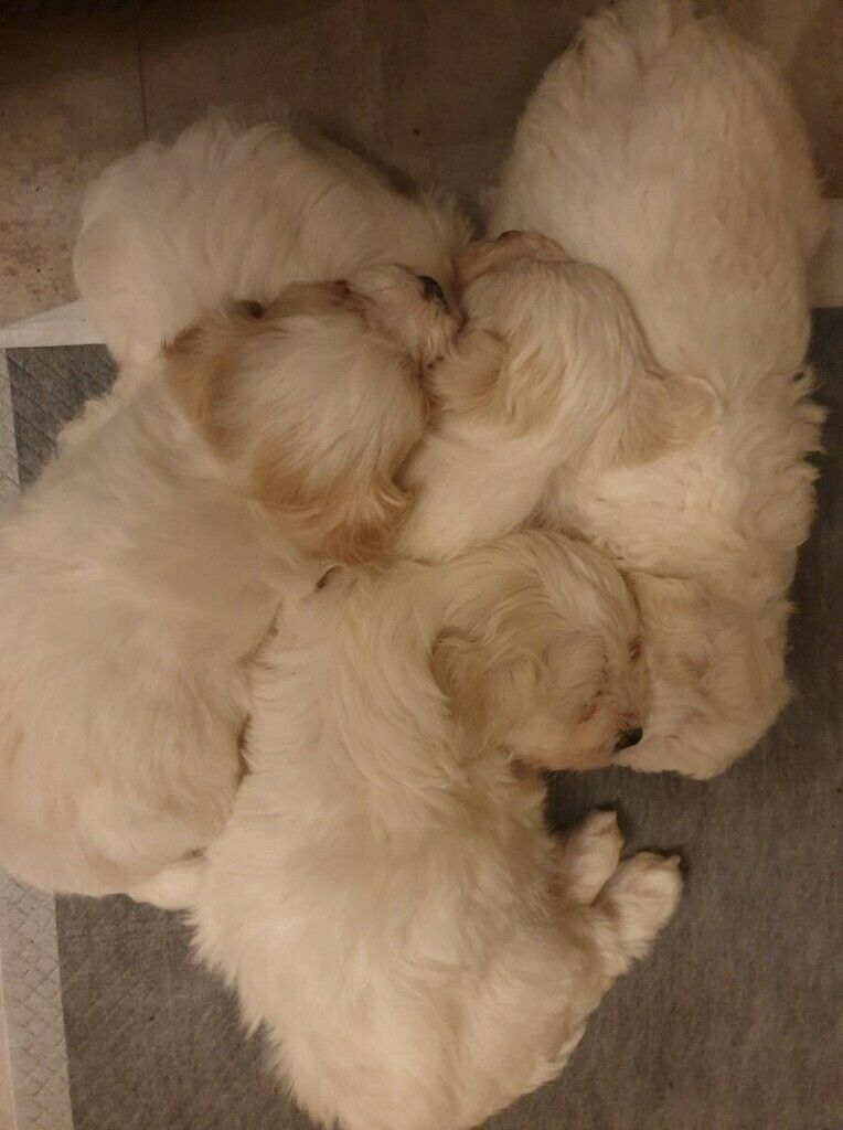 Bichon X Yorkie Pups In Derrygonnelly County Fermanagh Gumtree