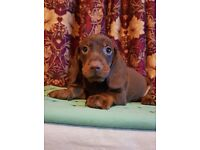 Dachshund wonderful pups