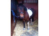 14.1 Irish sport ponyg