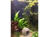 Endler guppies, celestial pearl danios, red cherry shrimp - looking for a good home