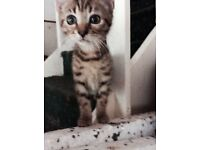 Beautiful spotted and marbled 3/4 x Bengal/Moggy kittens ready now!