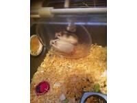 2 dwarf hamsters with cage ect