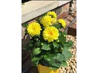 Dahlia Plant Size: 35-40cm (Incl. Pot)