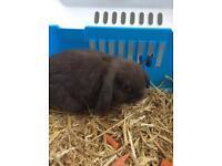 Pure bred minilop bunnys