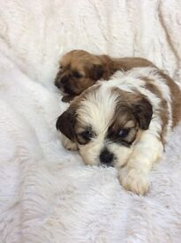 Shizoodle puppies for sale