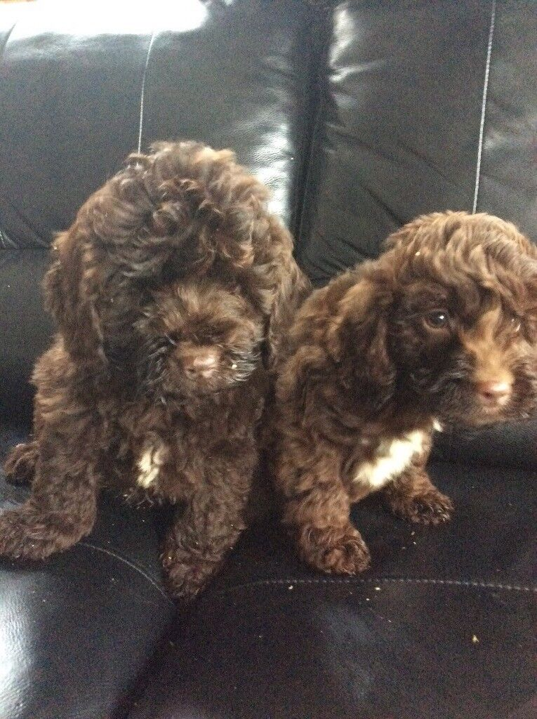 Cockapoo Puppies In Hatfield Hertfordshire Gumtree