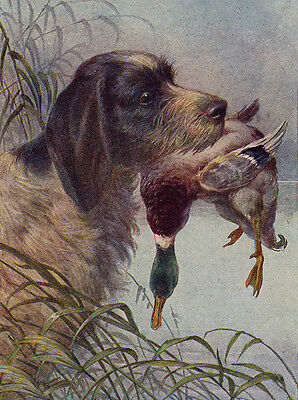 ITALIAN SPINONE LOVELY DOG GREETINGS NOTE CARD DOG AND DUCK