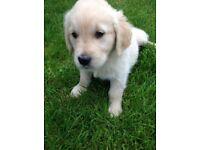Golden Retriever puppies pure bred. KC reg