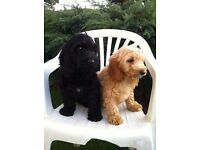 Cockerpoo puppies for sale to a loving home!!! Fully vaccinated. Fully registered and micro-chipped.
