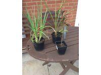 Perennial plants £2 each or 3 £5- homegrown - Cordyline, Kafir lilies and Hebes