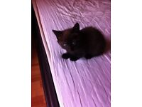 Female kitten for sale fluffy browny / black colour £65