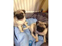 2 gorgeous pug baby boys