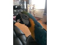 Blue and Gold Macaw 14 months old male