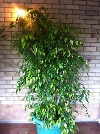 Large house plant. Green leaved Ficus