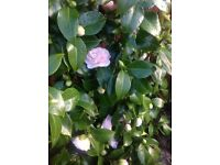 Camellia flower for sale
