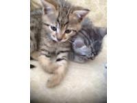 Bengal kittens boys