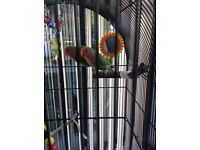 Pair of love birds,cage & stand ,toys.