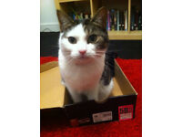 Missing from Stony Stratford - Tabby and White Cat